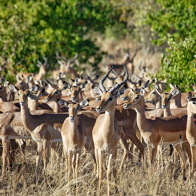 A group of brown and white springbok antelope gather in