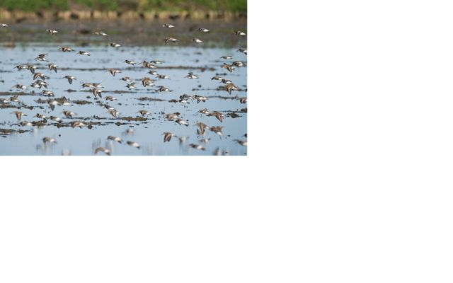 A flock of white and brown shorebirds flying low over a flooded field.