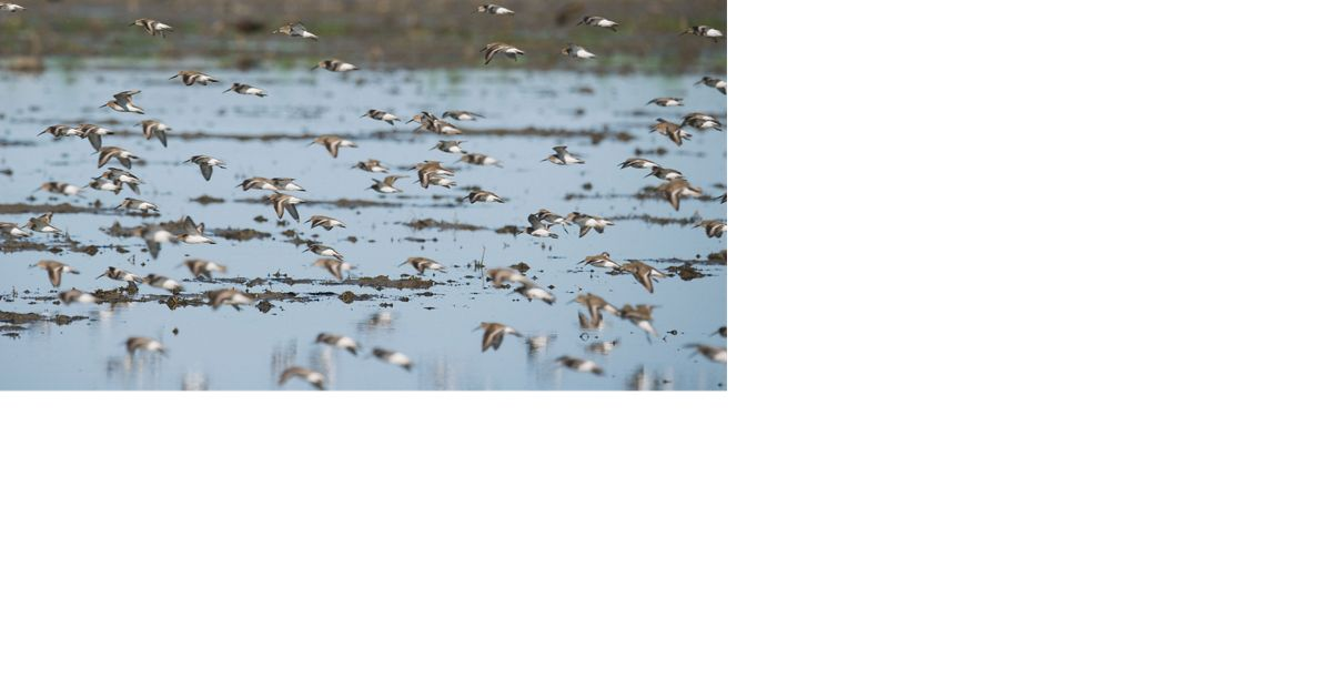 Flocks of Dunlin in rice fields in Colusa, California.