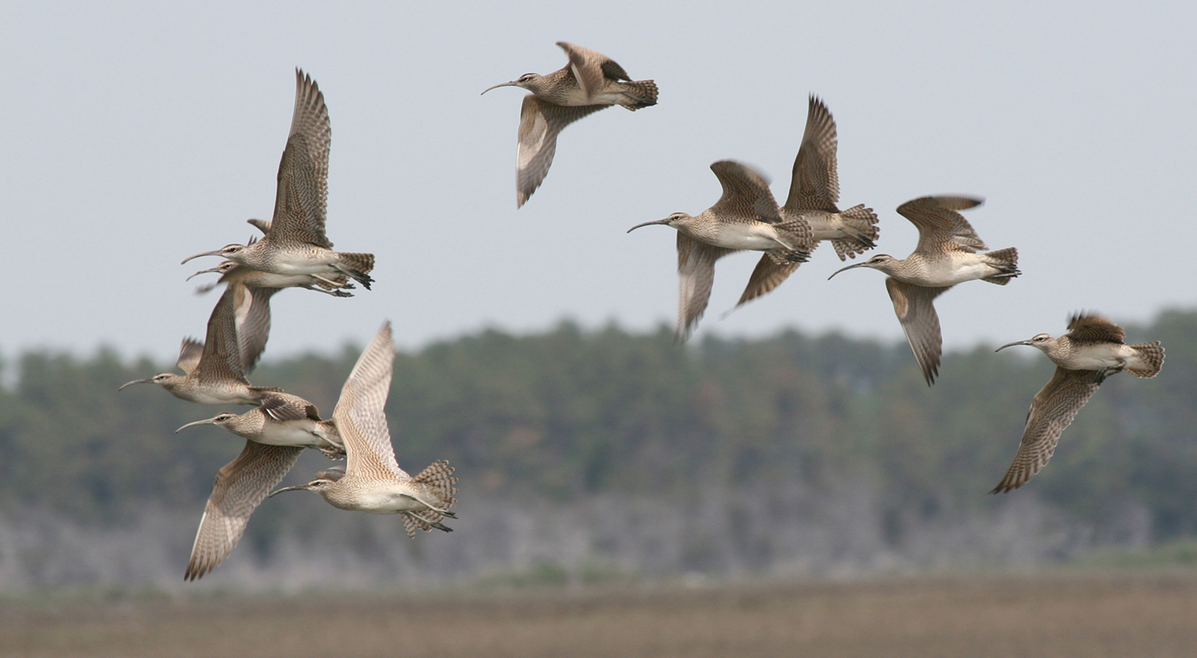 A flock of ten white and tan birds with long, thin beaks in flight.