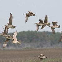 The Nature Conservancy's Virginia Coast Reserve is a globally important stopover site for these and other migratory birds.