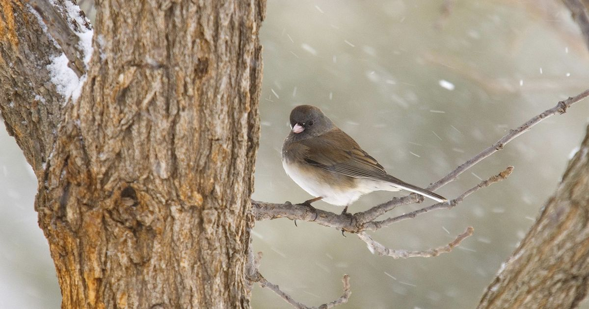 Dark-eyed junco in winter