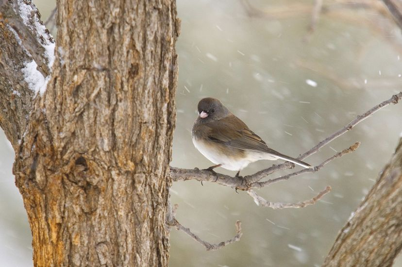 A dark gray bird with a white underbelly and small white beak sits on a branch amid snow flurries.