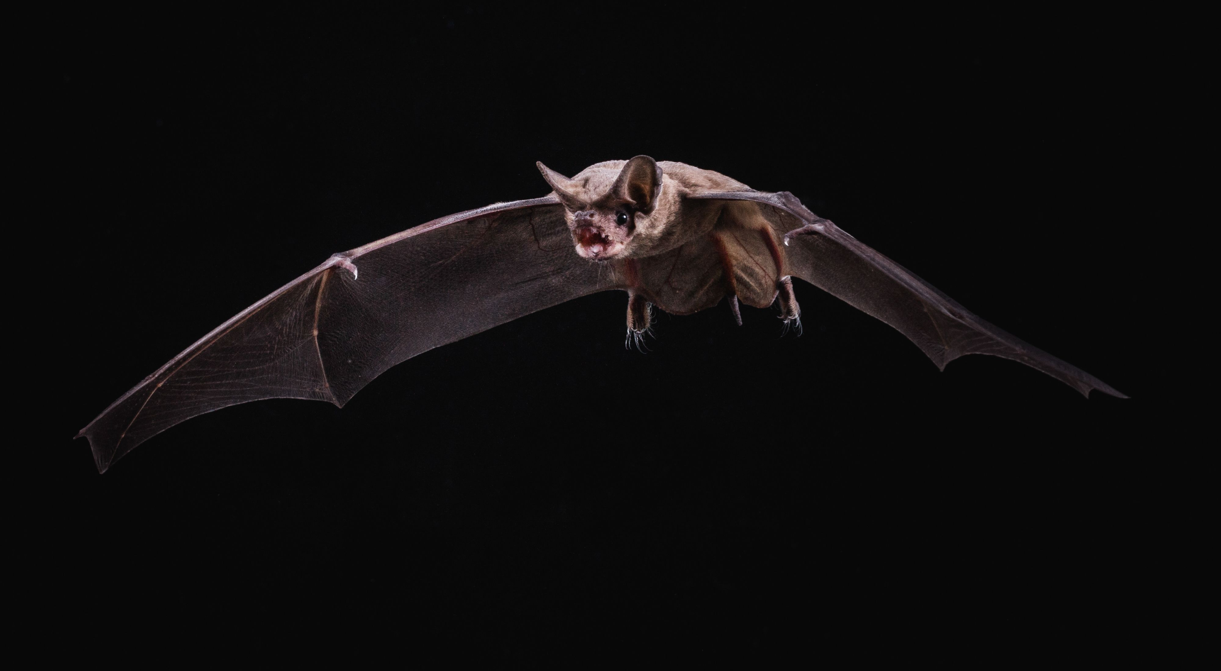 a Mexican free-tailed bat in Eckert James River Bat Cave Preserve in Mason, Texas.