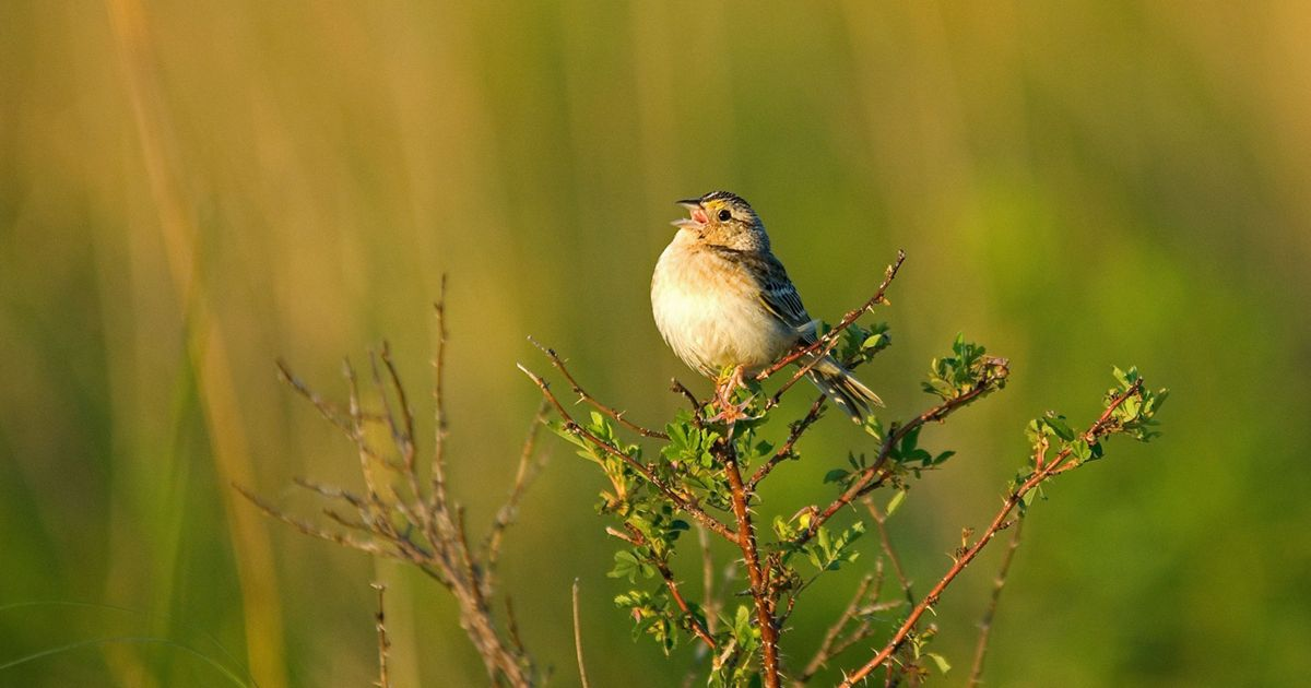 A grasshopper sparrow (Ammodramus savannarum) enjoys the results of a high-diversity prairie restoration.