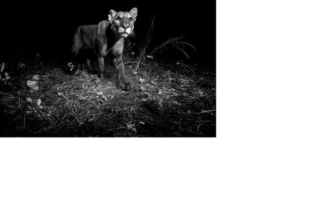 Photo Contest 2018 Caption: An endangered Florida panther in the Spirit of the Wild Wildlife Management Area, Florida, United States.  Photo Credit: © William Freund/TNC Photo Contest 2018 Photographer's Statement: Endangered Florida Panther taken in December of 2016 at Spirit of the Wild Wildlife Management Area in Florida using a Nikon D3200 with a passive infrared trigger and two flashes. Nature, and the panthers, matter to me because if we are able to save the panther we will be able to save Florida. We must better understand how we are interconnected to nature and the panther can help us do that.