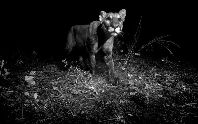 Black and white image of a young florida panther with wide eyes and whiskers at night in florida wilderness