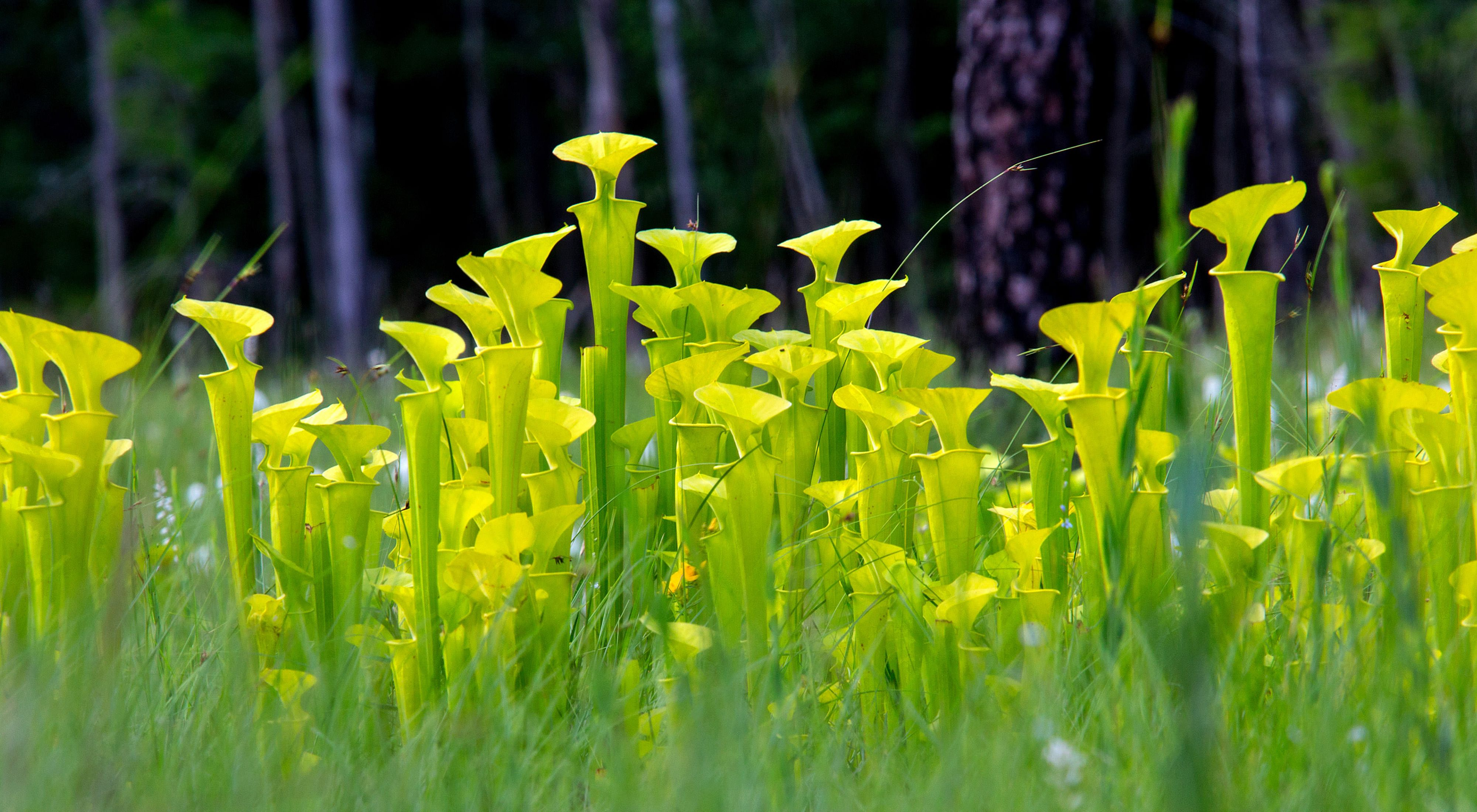 Densely packed tall green and yellow pitchers of the yellow pitcher plant.