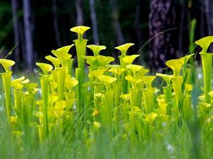 Yellow pitcher plants.