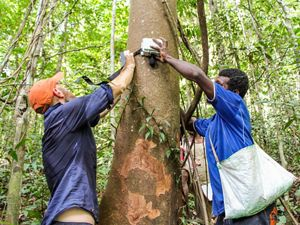 Two men strap an acoustic listening device to a tree in Papua New Guinea.