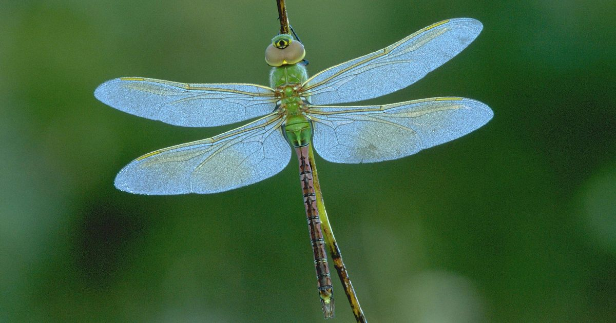 green dragonfly with light blue wings