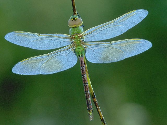 Green dragonfly with light blue wings.