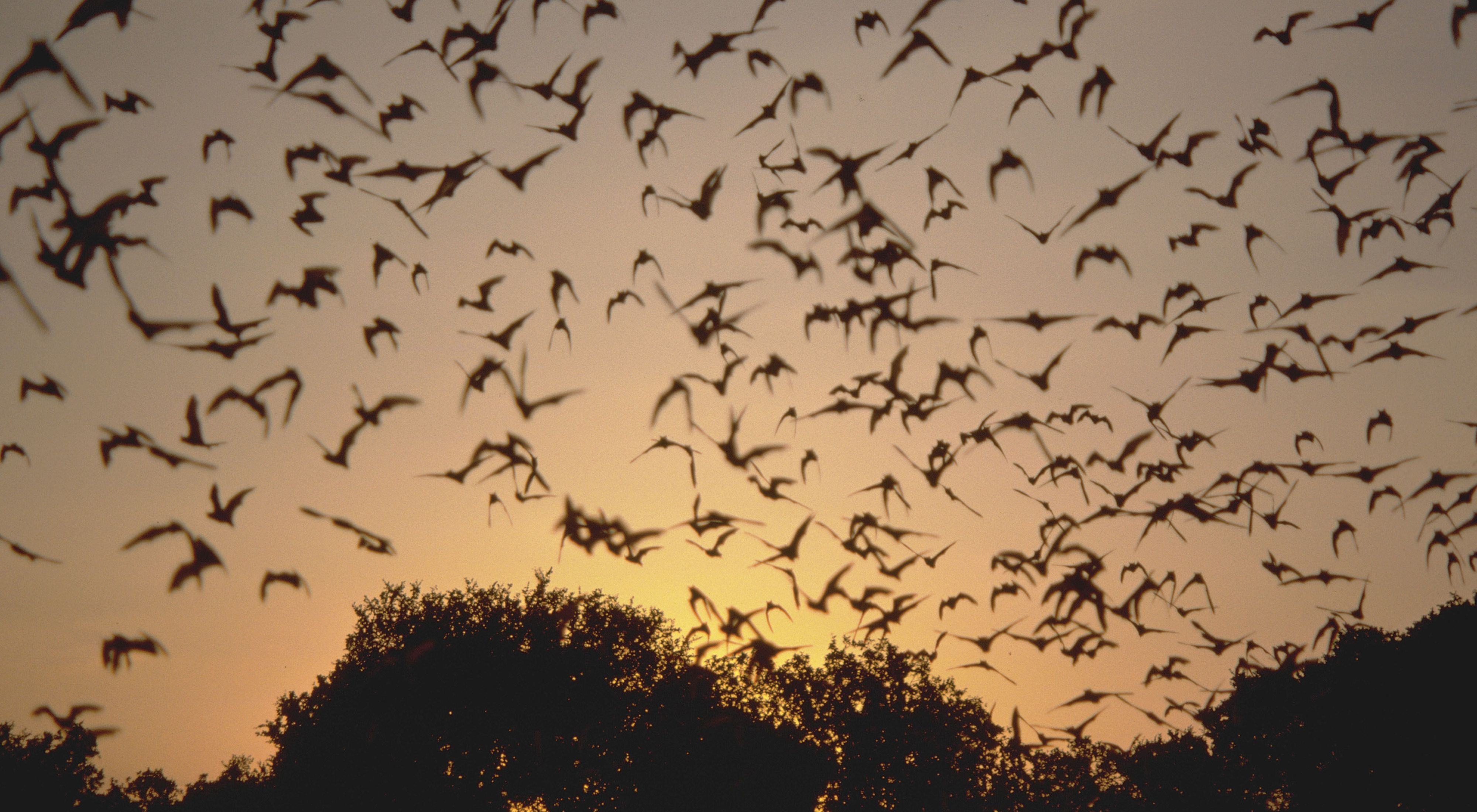 Hundreds of bats are silhouetted against a sundown sky as they fly from the roost.