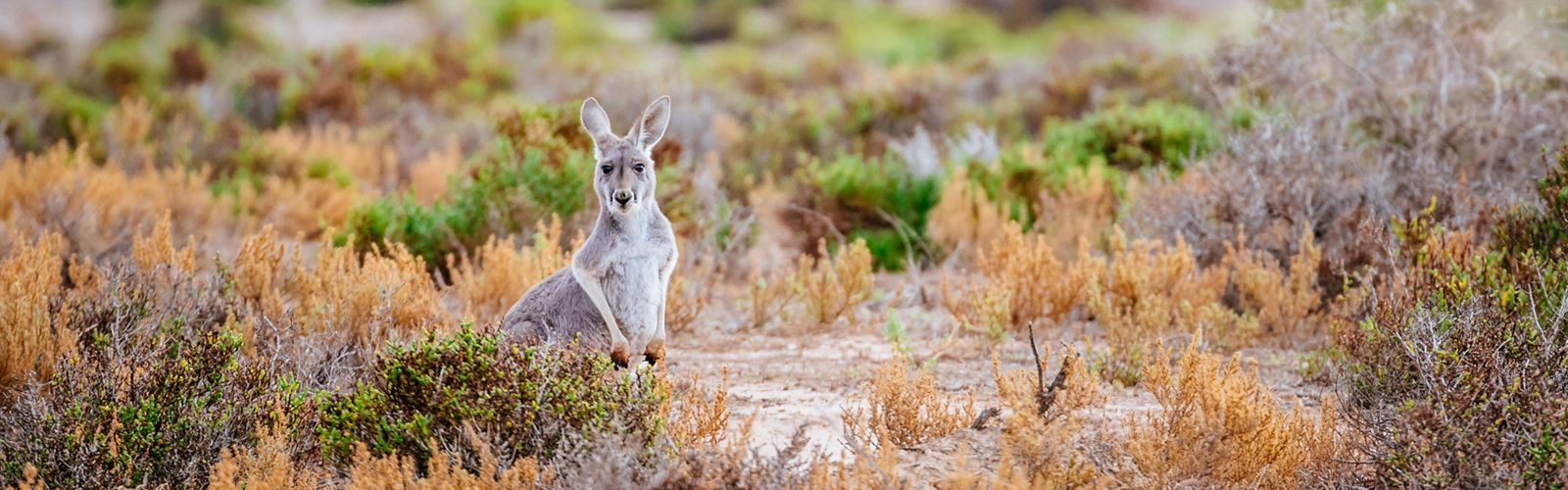 Western Grey Kangaroo near the CCB Wetland System