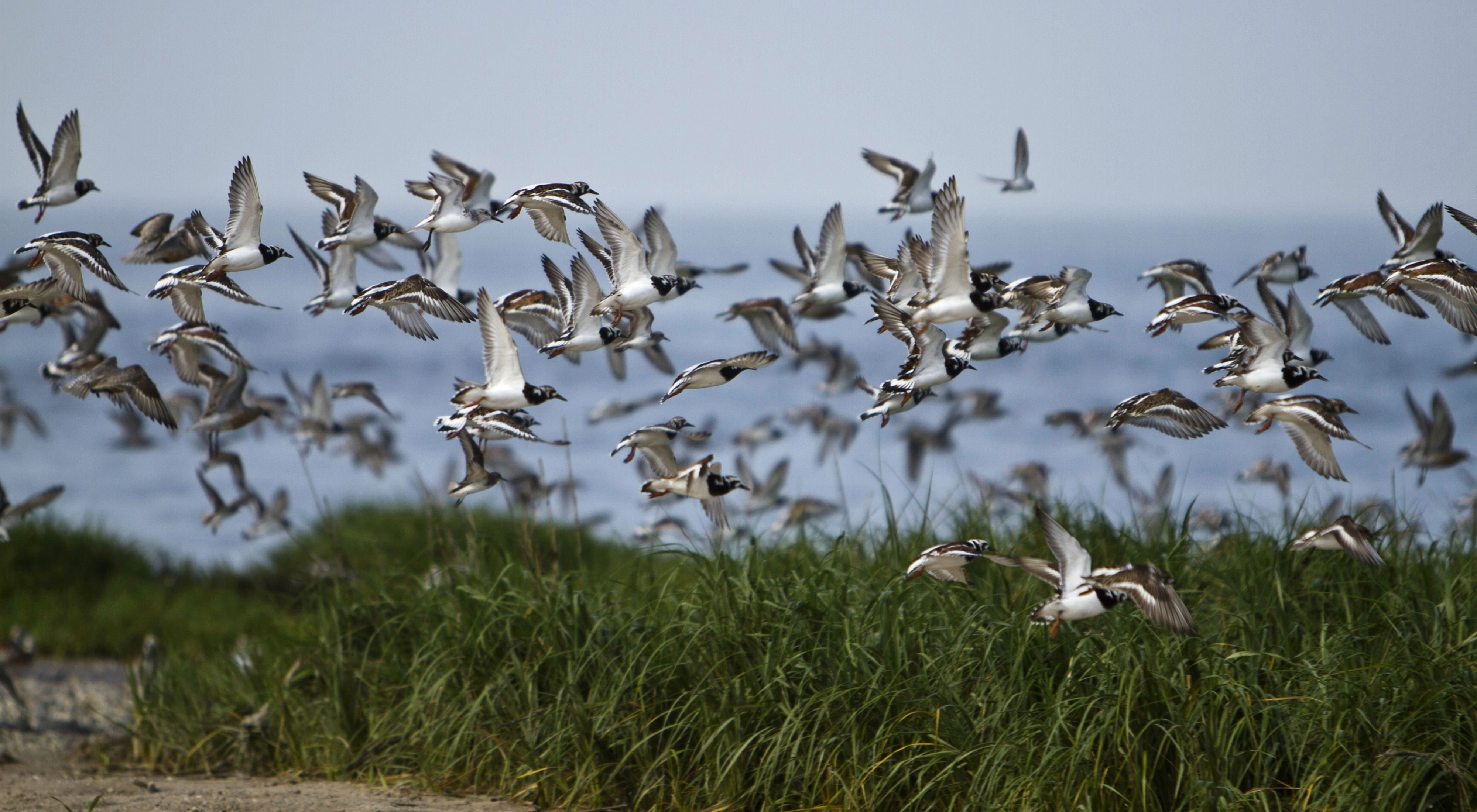 Shorebirds rely on the beaches and marshes of Gandy's Beach.