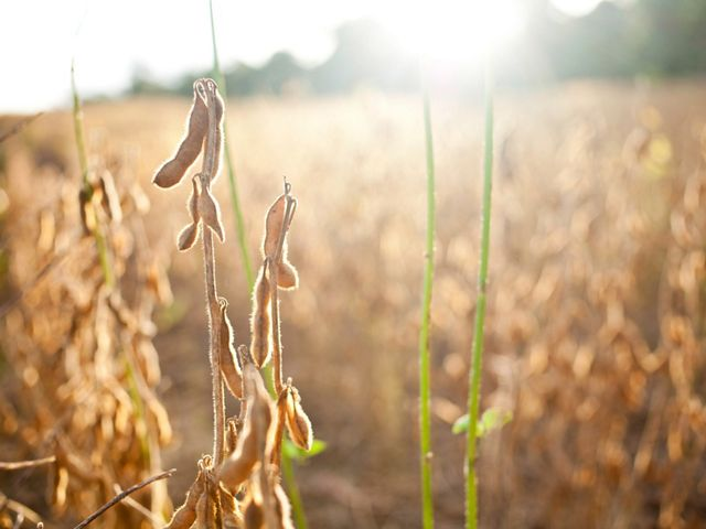 Golden soy crop in field close up image