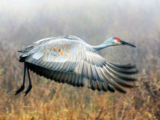 A Sandhill Crane takes off in the fog on an autumn morning in Wyoming, USA.