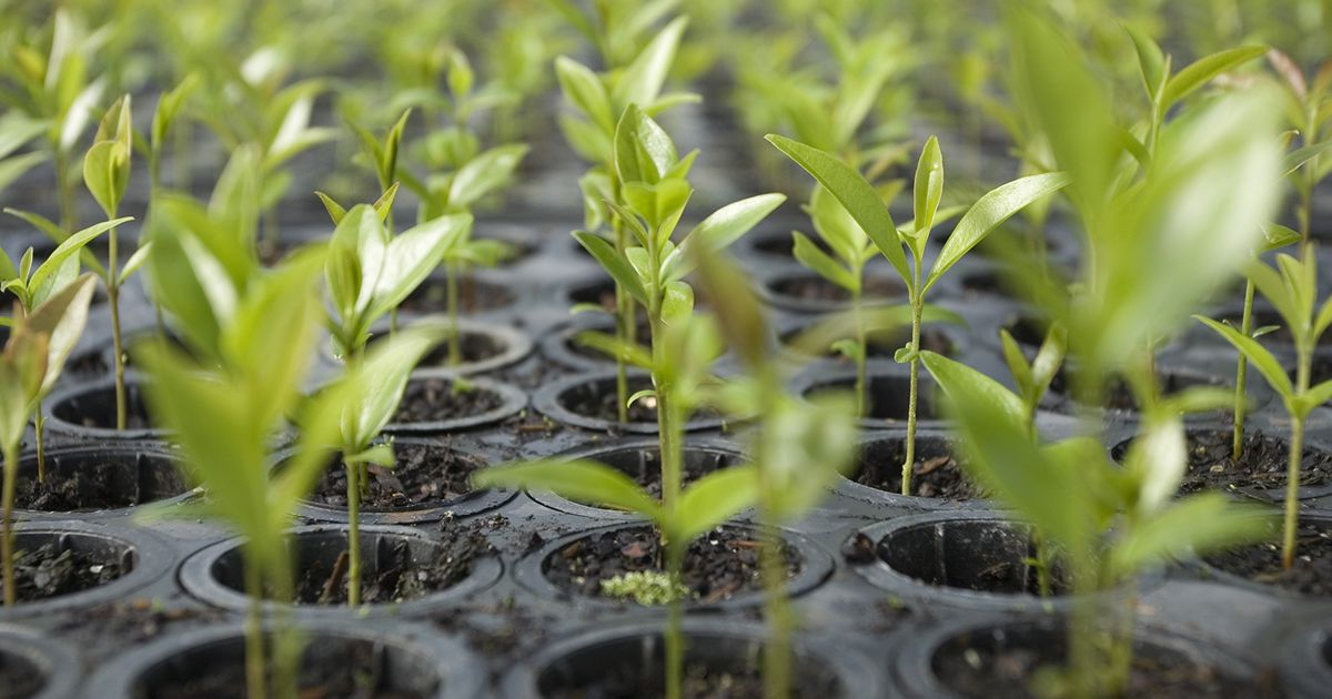 Seedlings grow at a large, state-owned, tree nursery near the city of Guarapuava, Parana state, Brazil.