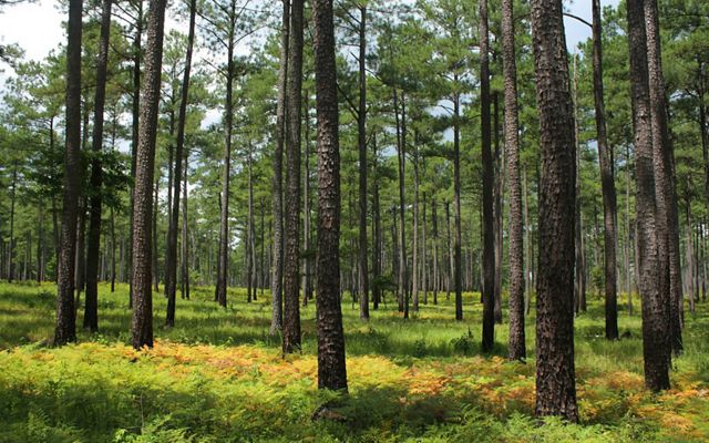 An open pine savanna of tall, widely spaced pine trees with a low understory of thick ferns.
