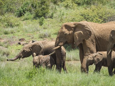 A herd of elephants at Loisaba Conservancy in Laikipia, northern Kenya.