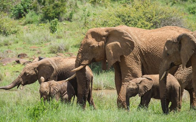 African elephants at Loisaba Conservancy in northern Kenya.