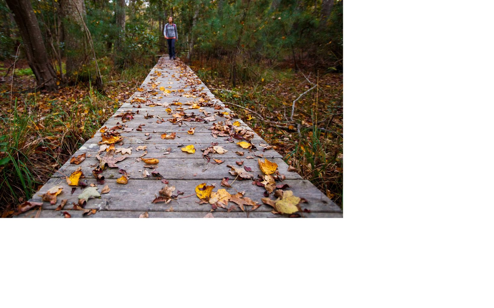 Bekah Herndon hikes amidst colorful fallen leaves on a boardwalk along the Blueberry Ridge Trail in the Nags Head Woods Preserve © Ben Herndon
