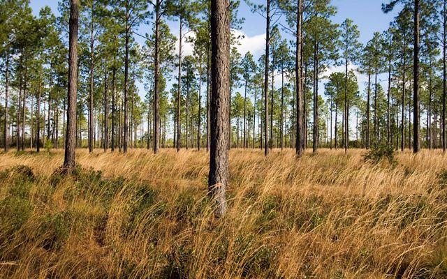 Photo of a mixed savannah including longleaf pine at TNC's Green Swamp Preserve in North Carolina.