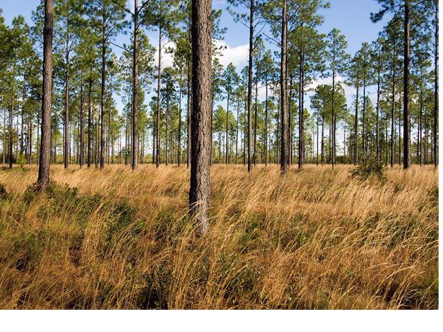 Green Swamp Savanna