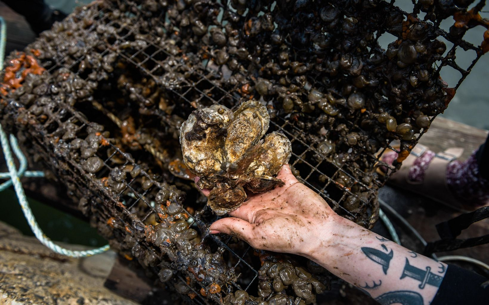 hand holding oyster clusters
