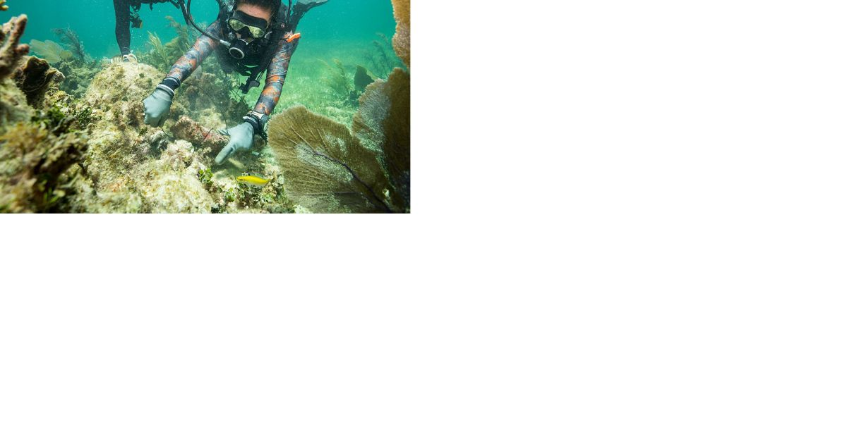 A diver practices securing corals to a reef to prepare for repairing reefs following hurricanes.