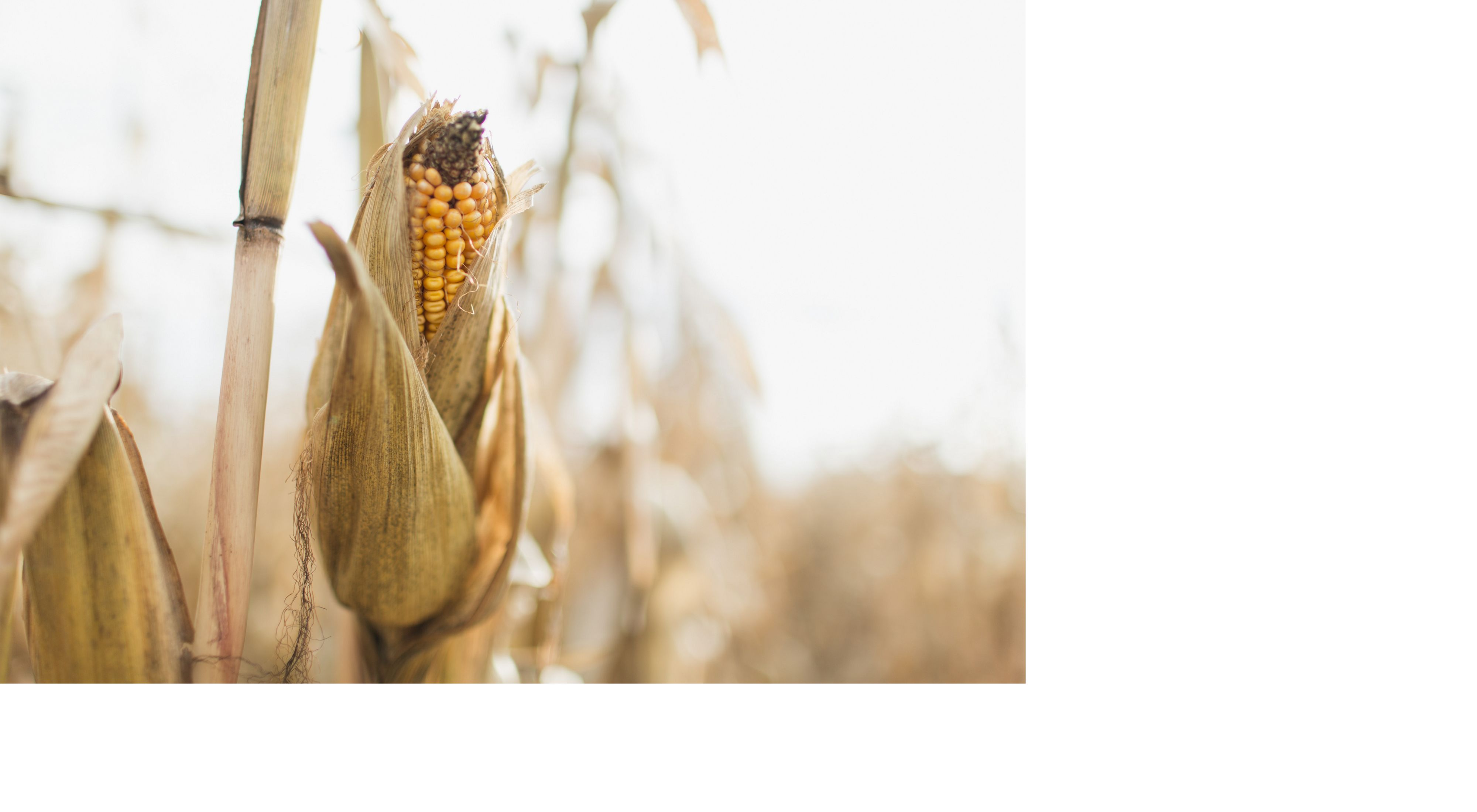 An ear of corn on Carrie Vollmer-Sanders' farm in Ohiol
