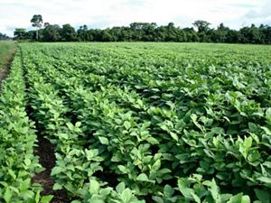 Rows of green soy plants on farm