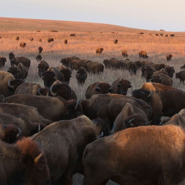 bison on the tallgrass prairie