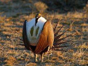 A male greater sage-grouse on lek grounds.