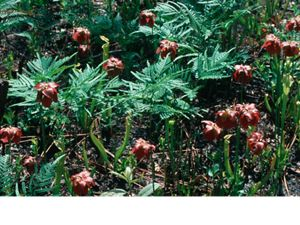 plant at Roberta Case Pine Hills Preserve in Alabama of the United States.