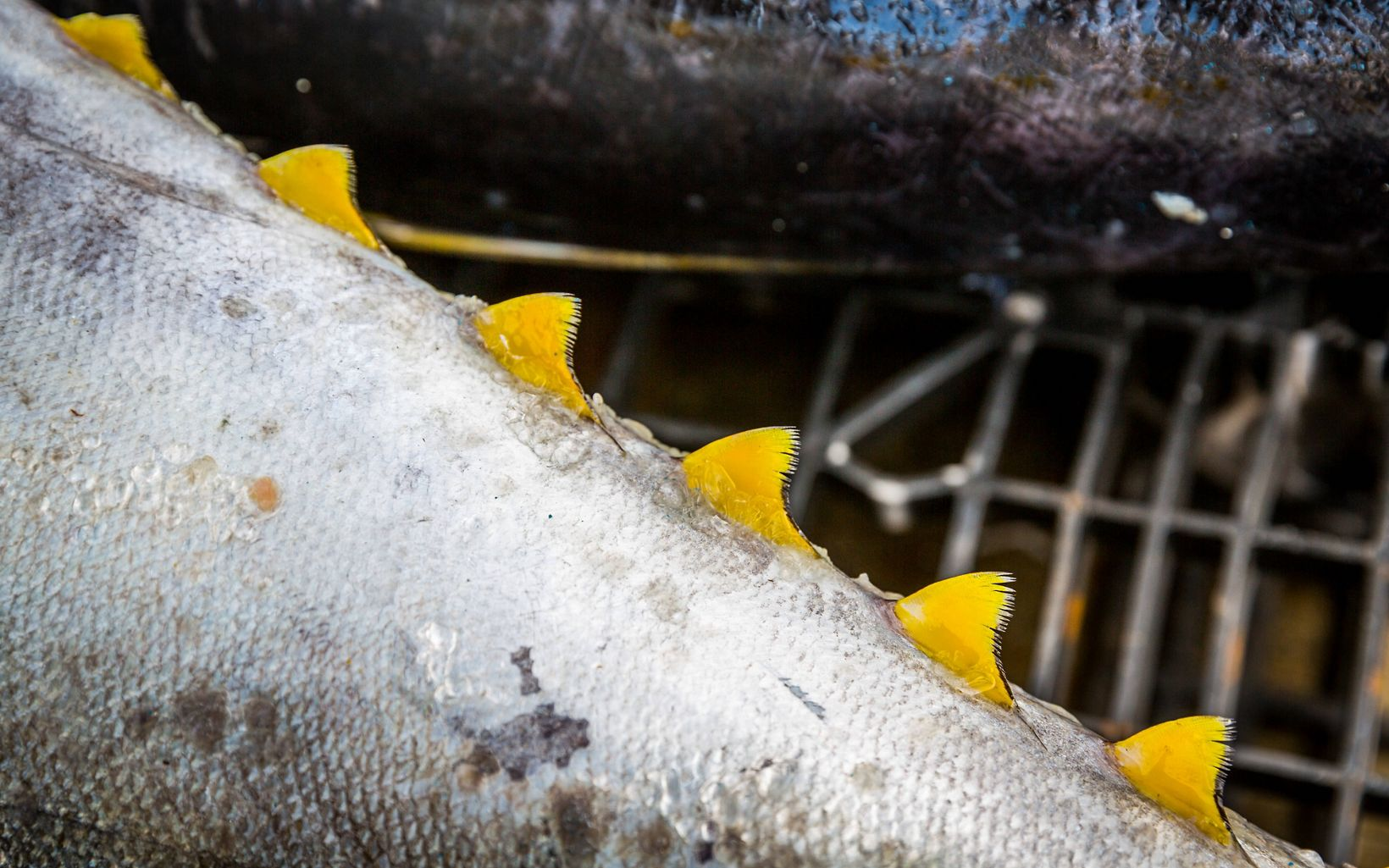 closeup of a yellowfin tuna's spines