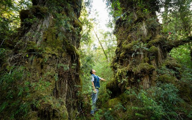 A Valdivian Coastal Reserve park guard stands between two giant Alerce trees covered in moss and leaves.