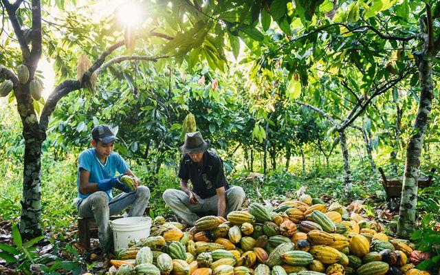 Deniston Mariano Dutra and his son Matheus Correia Dutra harvest cacao seeds.