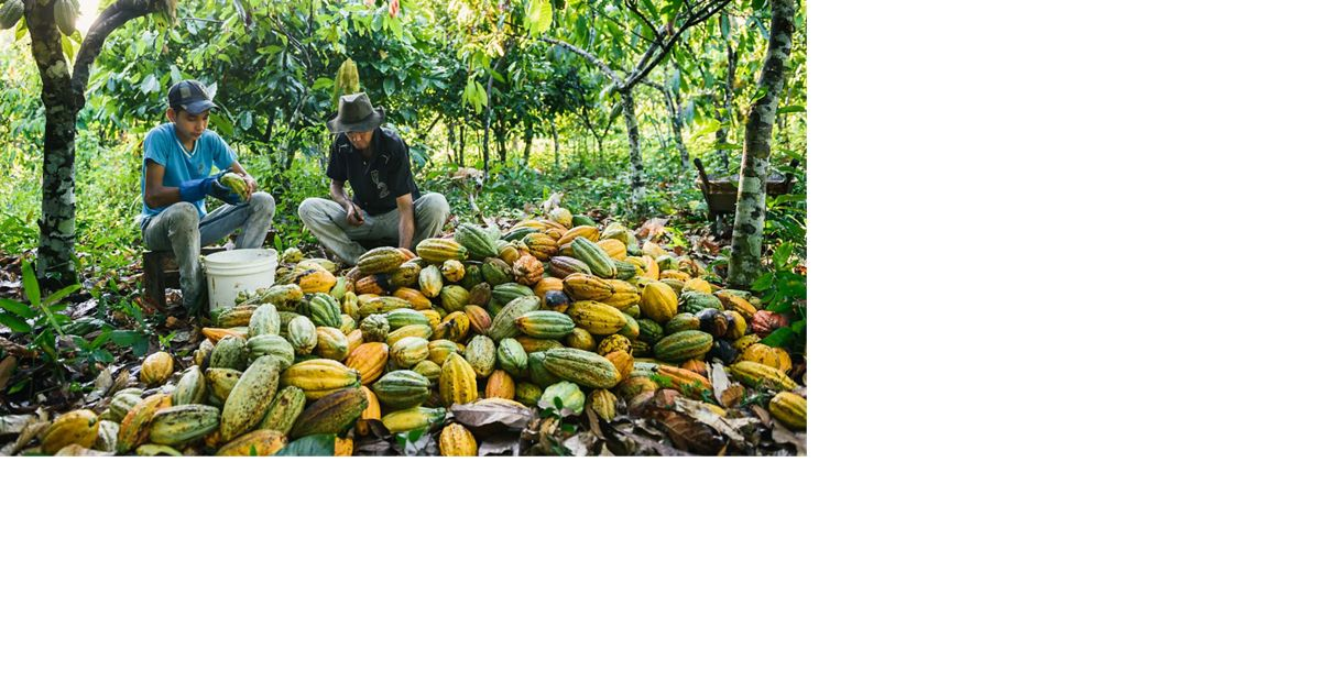 Brazilian Cacao Farming