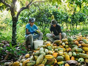 Dutra and his son remove cacao seeds from their pods
