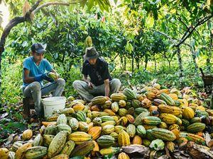 Una familia de campesinos brasileros examina su cosecha de cacao, en medio de sus cultivos en Pará.