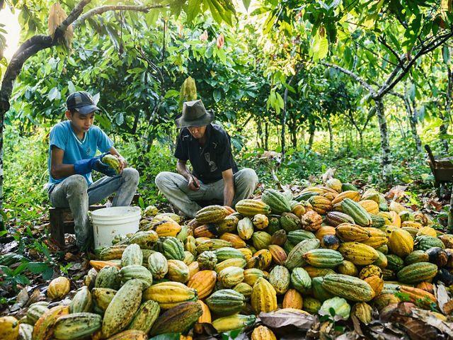 Seeding cacao pods