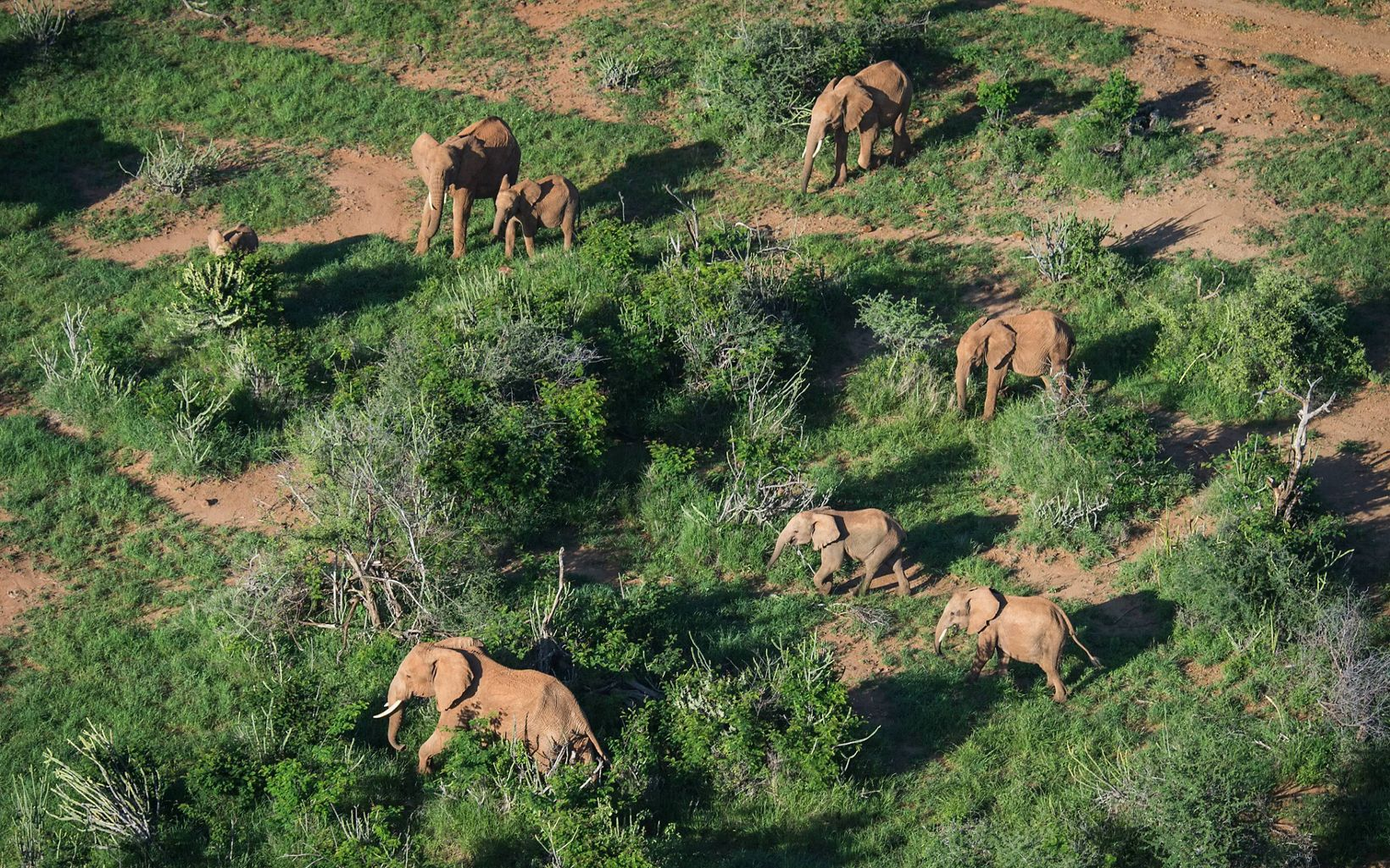 Aerial view of elephants at Loisaba Conservancy in northern Kenya.