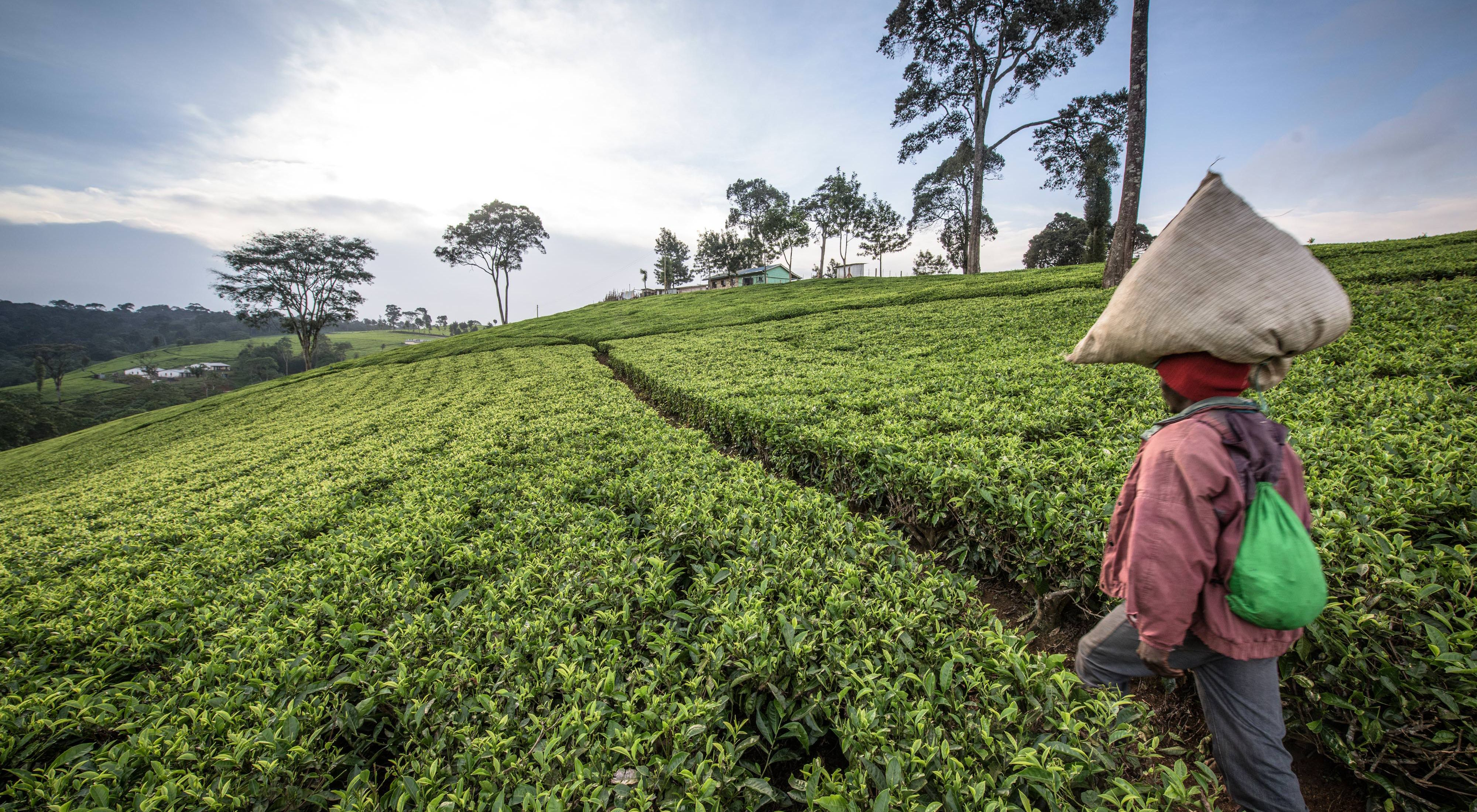 A woman carrying the tea leaves she has picked for the day back to the weighing station on a tea plantation in the Upper Tana Watershed, Kenya.