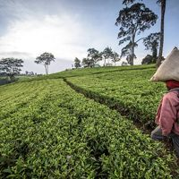 Picking tea leaves in Kenya