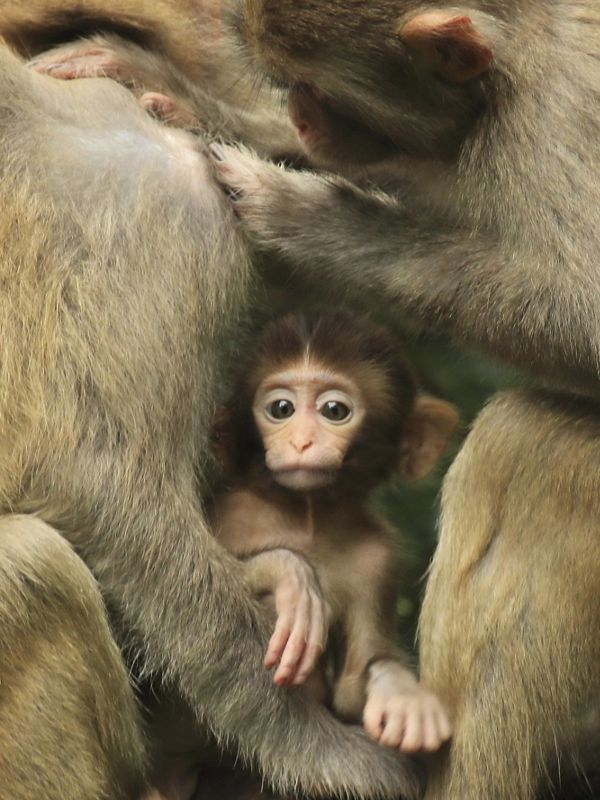An infant rhesus macaque shares an intimate moment with it's family.