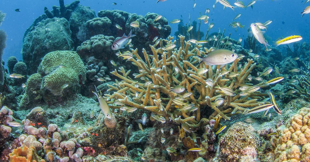 Healthy new staghorn corals outplanted by The Nature Conservancy in St. Croix, U.S. Virgin Islands