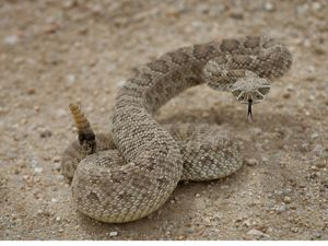 curled brown snake on sand