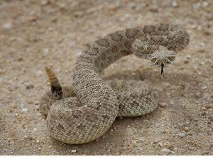 Eastern Indigo Snakes: Paradise Regained