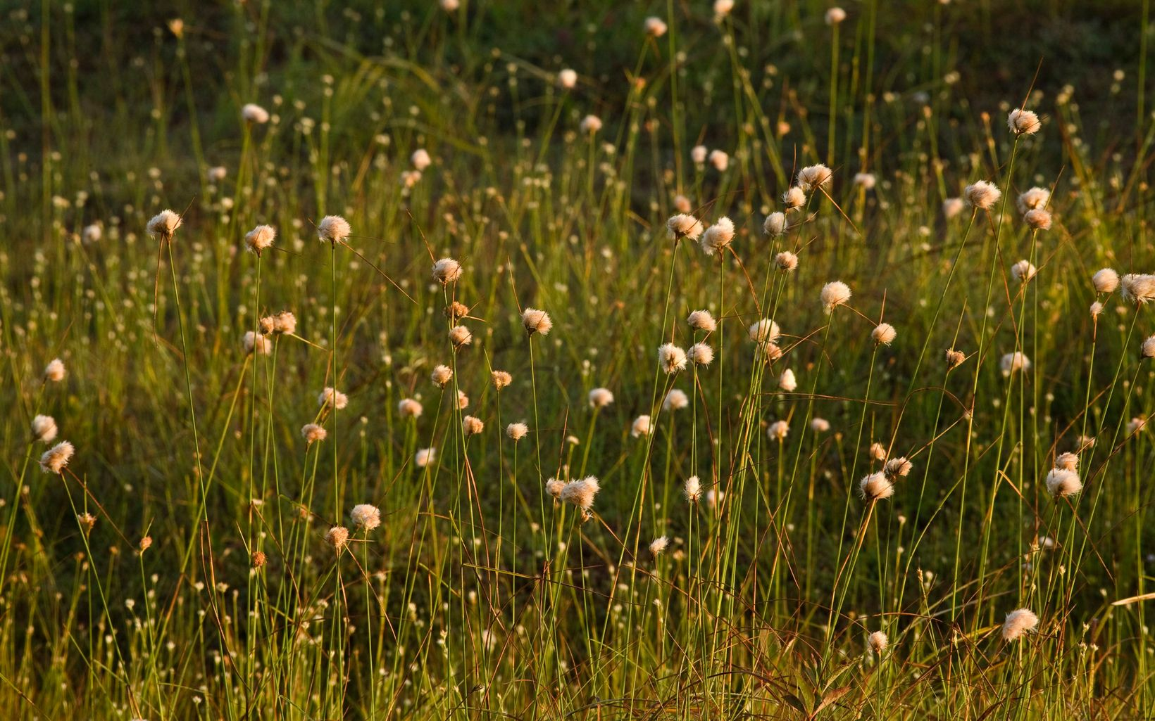 common cottongrass